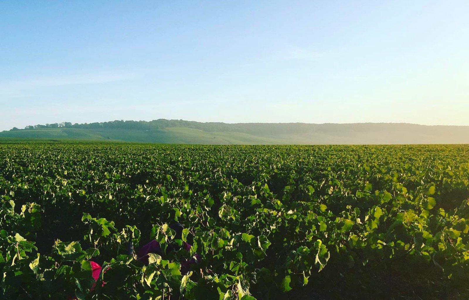 Vignoble Champenois sous le soleil et la brume